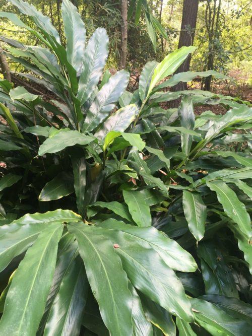 Ginger Leaf Hydrosol