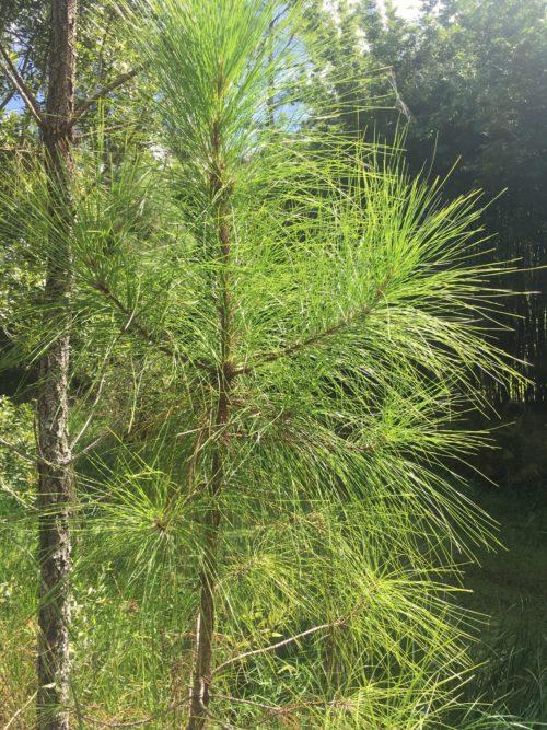 Pine Hydrosol